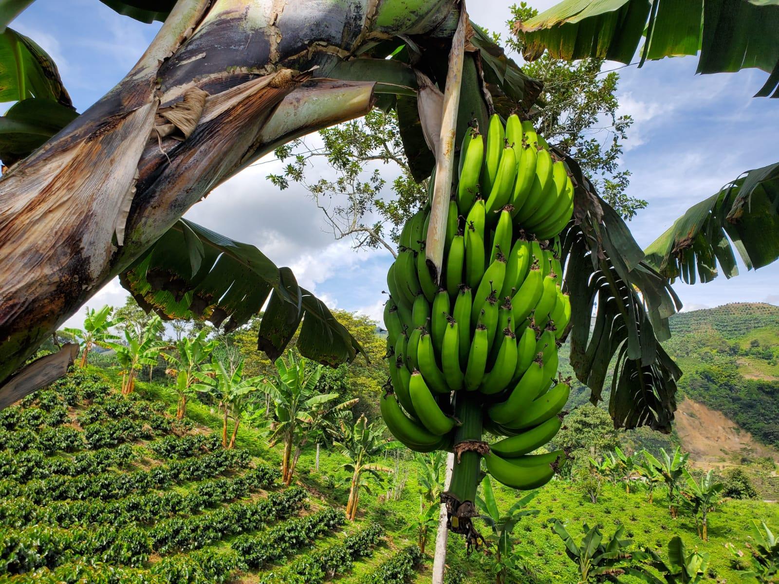 Bananas growing at a Colombian Coffee Farm - Finca Mariposa