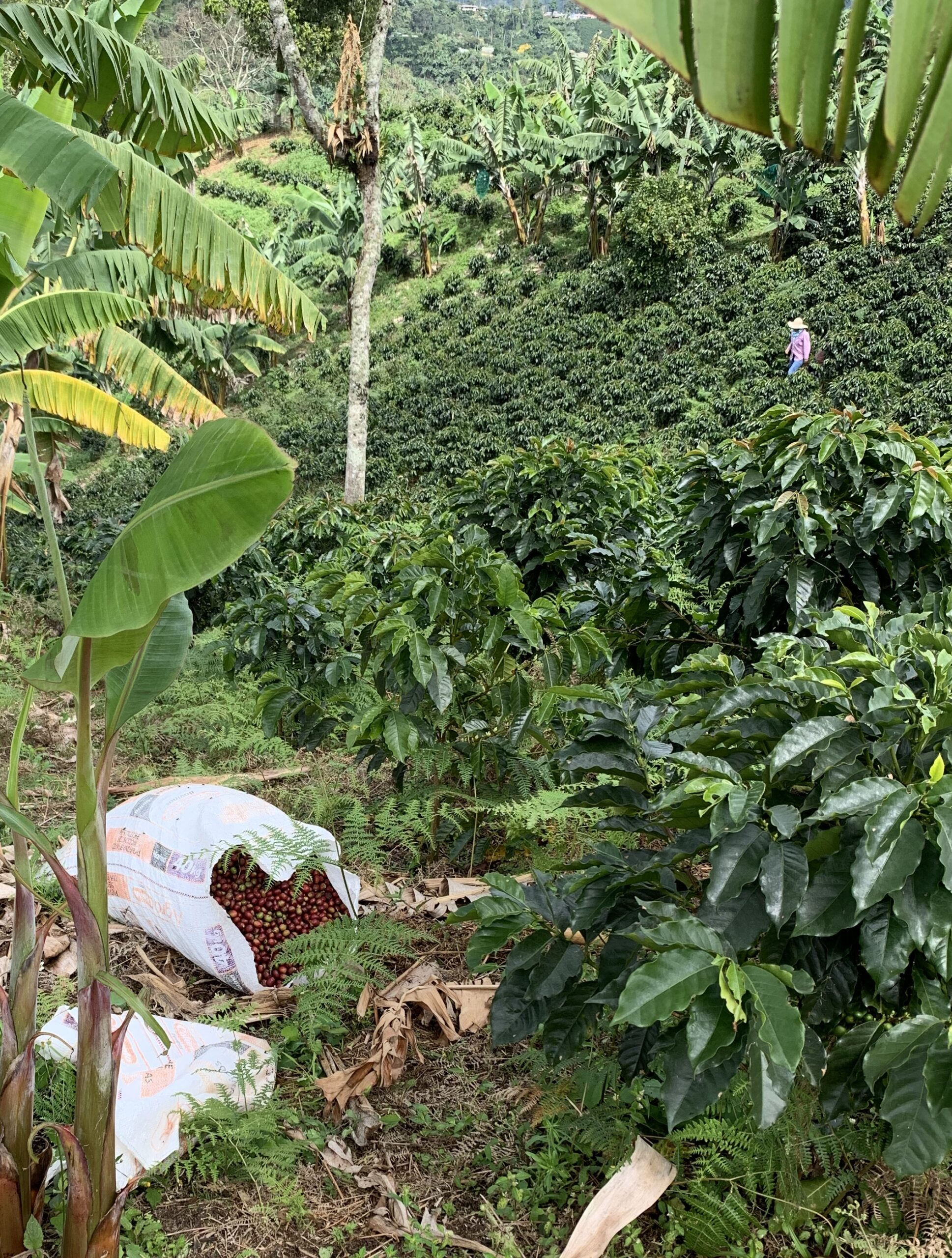 Workers at Finca Mariposa- a coffee farm in Jardin Colombia