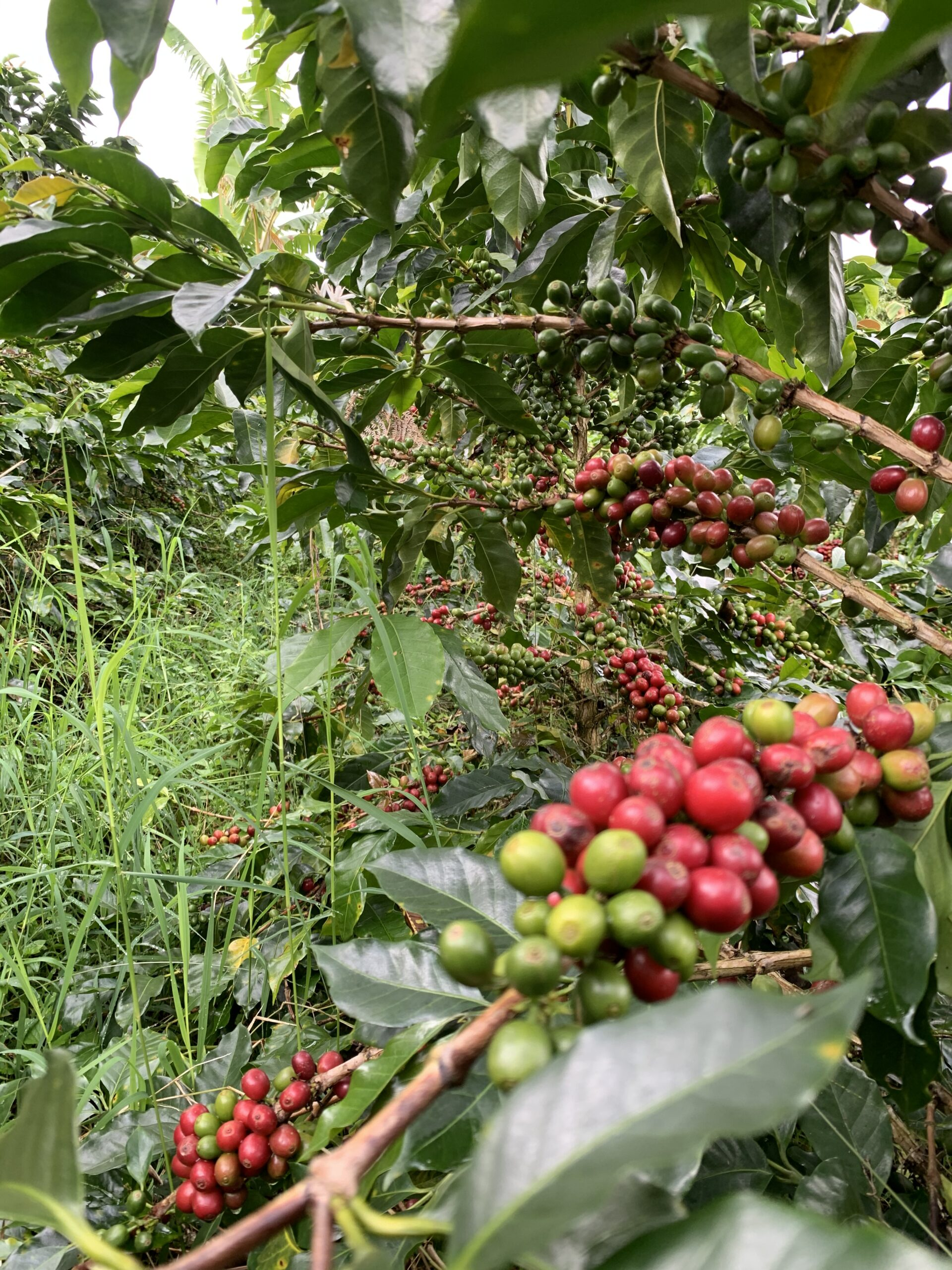 Coffee cherries ready to be picked from Finca Mariposa