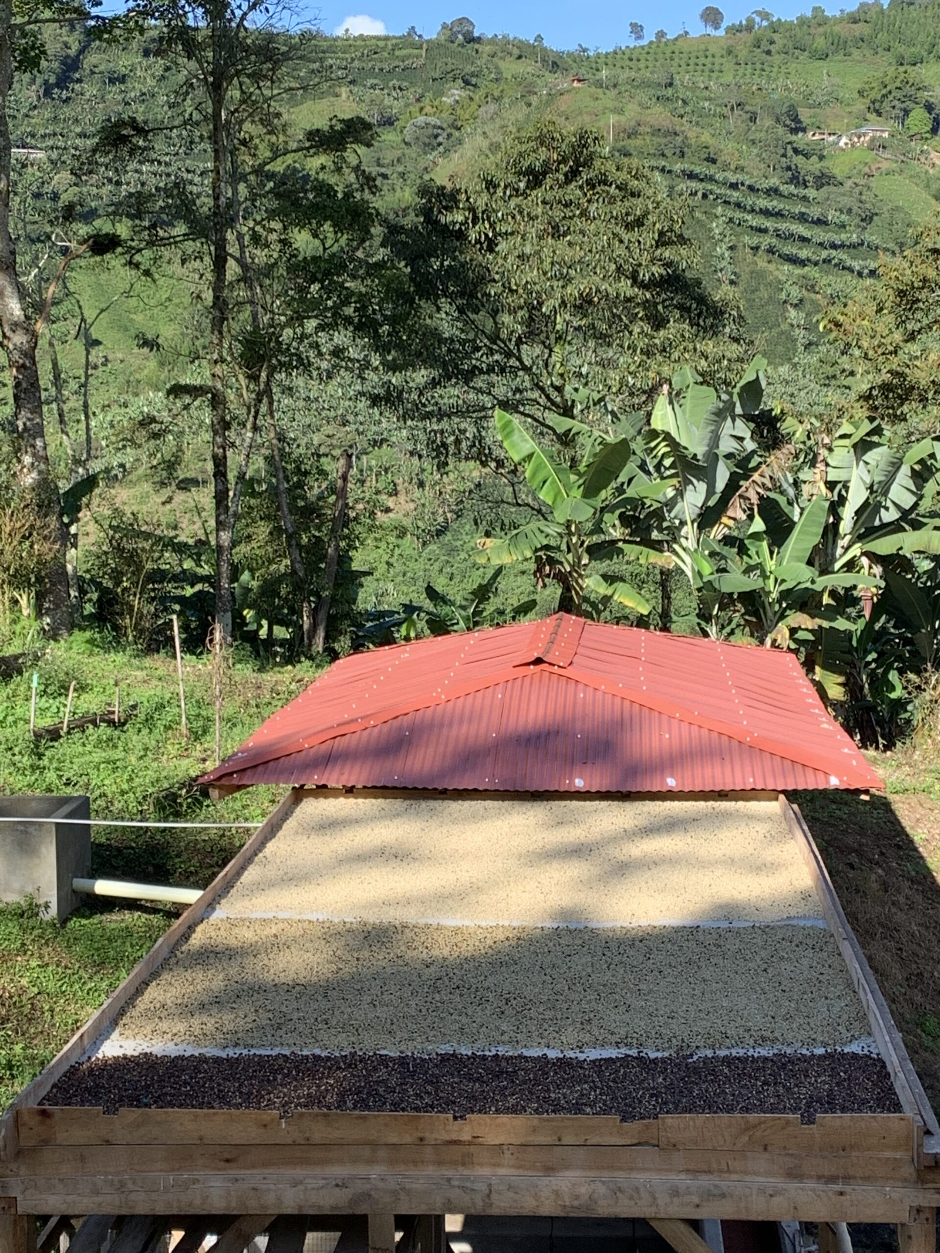 Coffee drying process on our property and coffee fields